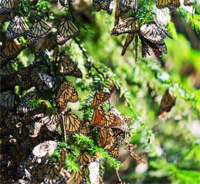 Cluster of Migrating Monarch Butterflies