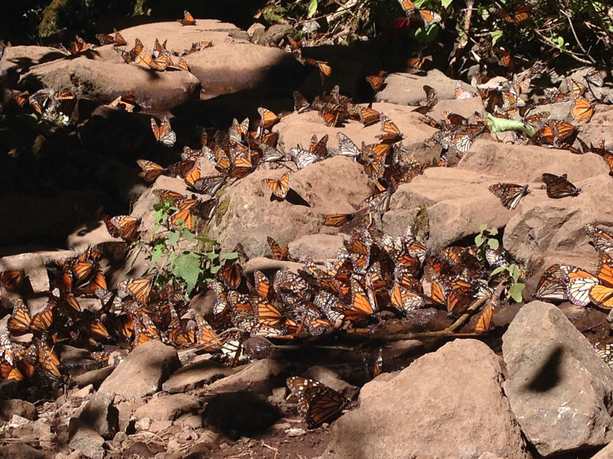 El Sanctuario de la Mariposa Monarca, El Rosario is located 62 miles northwest of Mexico City in the state of Michoacán. Here literally millions of Monarch butterflies overwinter on part of their four generation trek between Mexico and Minnesota
